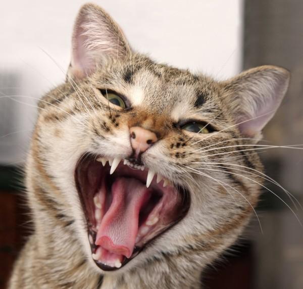 Mentine dantura pisicii tale sanatoasa!